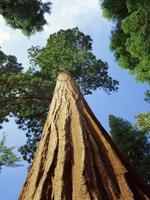Mariposa Grove of Giant Sequoia Trees, Yosemite National Park, California, United States of America