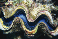 Close-up of a giant clam's mouth, Red Sea, Middle East