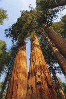 Giant sequoia tree, Sequoia National Park, California, United States of America, North America