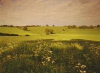 Spring wheat fields near Codicote, Hertfordshire, England, United Kingdom, Europe