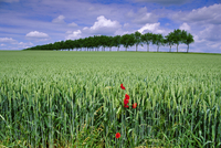 Poppies and field of wheat, Somme, Nord-Picardie (Picardy), France, Europe