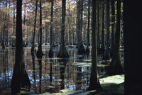 Reflections of trunks in the Cypress swamp in Cypress Gardens, North Charleston, South Carolina, United States of America, North