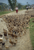 Flock of ducks being driven along a road in Xingwan, Sichuan, China, Asia