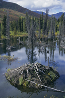 Beaver lodge in dammed pond, Ogilvie Mountains, Yukon, Canada, North America