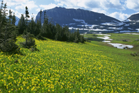 Meadow of glacier lilies, with the High Rocky Mountains behind, Glacier National Park, Montana, United States of America, North