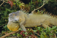 Green Iguana (Iguana iguana), basking in tree foliage, Muelle San Carlos, Costa Rica, Central America
