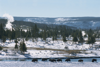 Winter in Midway basin, buffalo beside Firehole river, Yellowstone National Park, UNESCO World Heritage Site, Wyoming, United St