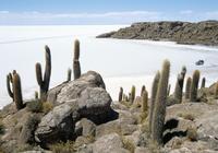 Cacti on Isla de los Pescadores, and salt flats, Salar de Uyuni, Southwest Highlands, Bolivia, South America