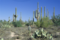 Saguaro organ pipe cactus and prickly pear cactus, Saguaro National Monument, Tucson, Arizona, United States of America, North A