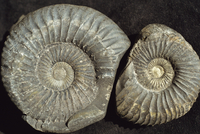 Ammonite fossils, largest one 75mm across, from the Jurassic Spiti shales, Muktinath, Nepal, Asia