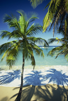 Palm trees on tropical beach, Dominican Republic, West Indies, Caribbean, Central America