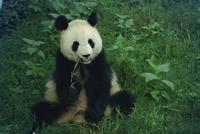 Giant panda, Sichuan Province, China, Asia 20025348207| 写真素材・ストックフォト・画像・イラスト素材|アマナイメージズ