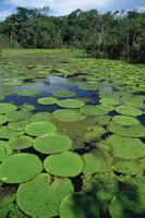 Parque Ecologico do Janauary, Victoria Amazonica (Giant Water-Lily), Manaus, Amazonas, Brazil, South America