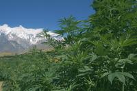 Marijuana bushes, near Hopar Glacier, Hunza, Pakistan, Asia