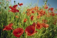 Common poppies near Peterborough, Cambridgeshire, England, United Kingdom, Europe