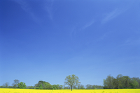 Agricultural landscape of yellow field with trees and blue sky in Northamptonshire, England, United Kingdom, Europe