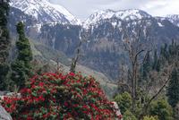 Rhododendrons in bloom, Dhaula Dhar (Dhaola Dhar) Range of the Western Himalayas, Himachal Pradesh, India