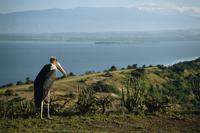 Maribou stork on Lake Edward, Queen Elizabeth National Park, Uganda, Africa