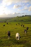 Landscape with cattle, Somerset, England, UK
