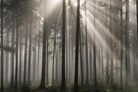 Misty pine forest, Nibelungengau, Austria,
