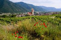 Weissenkirchen pfarrkirche and vineyards, Wachau, Lower Austria, Austria, Europe