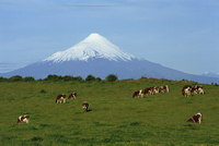 Cattle grazing in a field with the Osorno volcano behind in the Lake District in Chile, South America