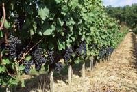 Vineyard, Gaillac, France, Europe