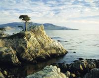 The Lone Cypress Tree on the coast, Carmel, California, United States of America