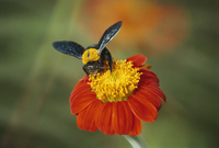Bumble bee on a dahlia, England, United Kingdom, Europe