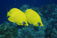 Pair of butterfly fish (Chaetodon Senilarvatus), Red Sea, Sudan, Africa