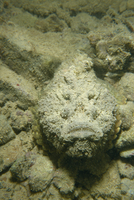 Camouflaged stonefish (Synanceia Verrucosa), Red Sea, Sudan, Africa