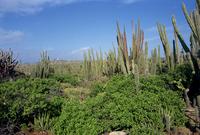 Candle cacti, Arikok National Park, Aruba, West Indies, Caribbean, Central America