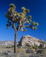 Joshua tree, Joshua Tree National Park, California, United States of America