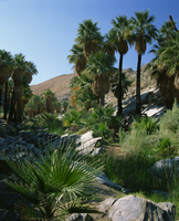 Lush vegetation including palm trees on the banks of a creek in Palm Canyon, Palm Springs, California, United States of America,