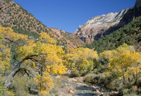 Cottonwood trees on the banks of the Virgin River, Zion National Park, Utah, United States of America, North America