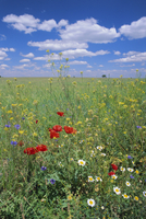 Field of wild flowers, near Utande, Guadalajara, Castilla-La Mancha, Spain, Europe