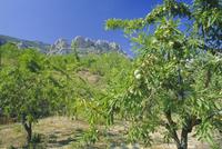 Almond trees in the Sierra de Aitana, Alicante, Valencia, Spain, Europe