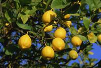 Lemons on tree, Malaga province, Andalucia, Spain, Europe