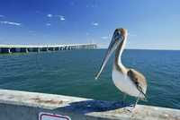 Brown pelican (Pelecanus occidentalis) in front of the Sunshine Skyway Bridge at Tampa Bay, Florida, United States of America, N