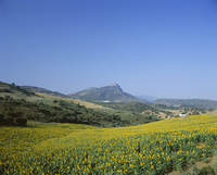Fields of sunflowers, near Ronda, Andalucia (Andalusia), Spain, Europe