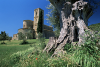 Trunk of ancient olive tree with the abbey of Sant'Antimo beyond, near Montalcino, Tuscany, Italy, Europe