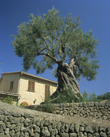 Old olive tree in the garden of a village house in Deya, Majorca, Balearic Islands, Spain, Europe