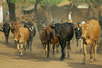 Cattle herded through village, Salima, Malawi, Africa