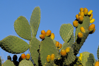 Prickly pear cactus, lower slopes, Mount Etna, Sicily, Italy, Europe