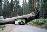 Tunnel Log, 275 ft long, which fell in 1937, Sequoiadendron giganteum, Sequoia National Park, California, United States of Ameri