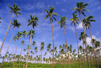 Coconut plantation, Tavauni Island, Fiji, Pacific Islands