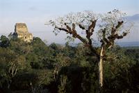 Cedar tree with bromeliades, Temple 4 beyond, Tikal, UNESCO World Heritage Site, Guatemala, Central America