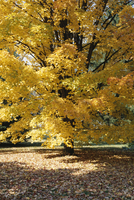 Shades of yellow, gold and orange, typical fall colours, New Hampshire, New England, United States of America (U.S.A.), North Am