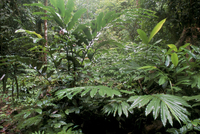 Broad leaved plants and ferns grow at base of dipterocarp rainforest, Danum Valley Conservation Area, Danum Valley, Sabah, Malay