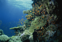 Reef scene with anthias fish and coral, Red Sea, Egypt, North Africa, Africa